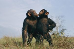 chimpnationalgeographic_507098.ngsversion.1434157200191.adapt.1900.1
