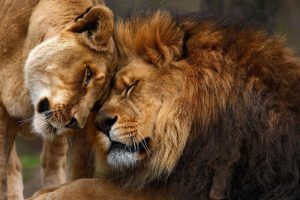 lions-in-love-700x467